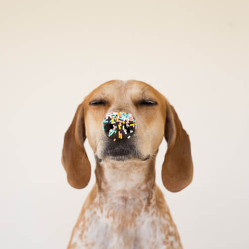 maddie the coonhound, with sprinkles